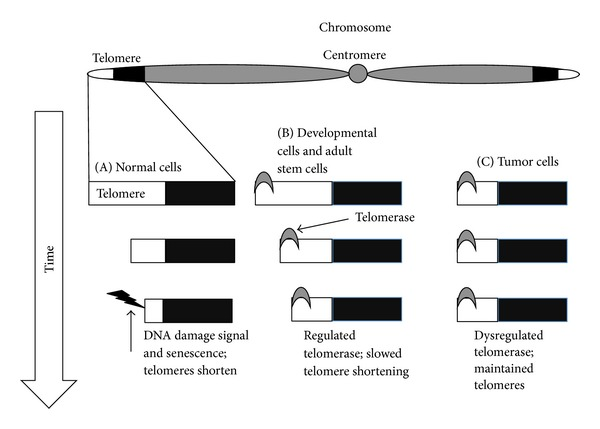 Telomere Length
